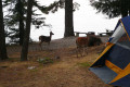 Deer at our campsite at Lake Pend O&#039;Rielle in Idaho