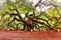 The Angel Oak in Charleston – Oldest Living Thing in the East